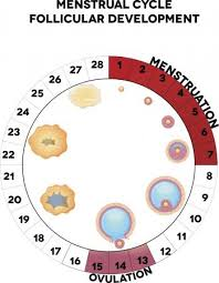 Standard Menstrual Cycle Chart 7 Natural Family Planning Methods And A Printable Chart