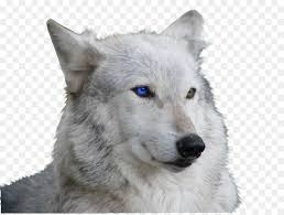 white wolf pup with blue eyes. Plain White Siberian Husky Arctic Wolf Puppy Blue Eye  And White Wolf Pup With Eyes S