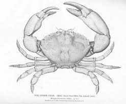 King Crab Leg Size Chart Florida Stone Crab Wikipedia