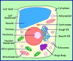 animal and plant cells for 6th grade. Delighful 6th Picture And Animal Plant Cells For 6th Grade A