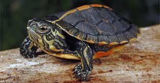 turtles tortoises reptile pet types