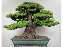 bonsai tree for office. 20 Juniper Bonsai Tree Seeds Potted Flowers Office Purify The Air Absorb For T