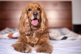 English Cocker Spaniel Dog Puppy - Free ...