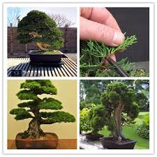 office bonsai tree. Interesting Bonsai Do Not Miss Our Best 20 Juniper Bonsai Tree Potted Flowers Office  Purify The Air Absorb Harmful Gases Free Shipping SS044 Here With Low Price  To Office Bonsai Tree