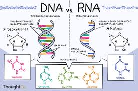 Functions Of Nucleic Acids Nucleic Acids Function Examples And Monomers