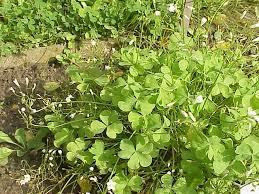 Oxalidaceae - Wikipedia