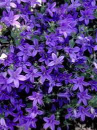 Campanula Groundcover Plants