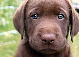chocolate lab with blue eyes. Blue Eyed Chocolate Lab In With Eyes