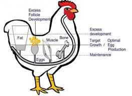Broiler Breeder Management Canadian Poultry