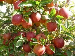 GI201609148jpgIranian Fruit Trees