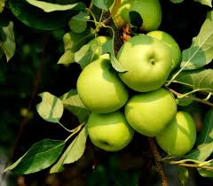 green apple fruit tree. green apple tree....we had 2 trees at our lake fruit tree