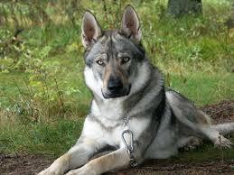 white german shepherd wolf mix puppy. Brilliant Puppy In White German Shepherd Wolf Mix Puppy Husky Mixes