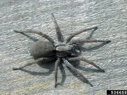 Michigan Spiders Identification Chart Scary Michigan Spiders Brown Recluse 4 Others To Watch For