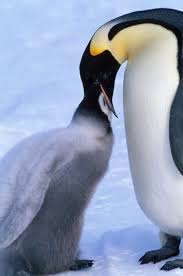 emperor penguins eating. Contemporary Eating Emperor Penguins Feeding Chick On Penguins Eating R