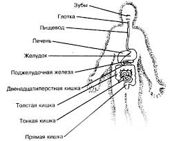 Органы пищеварения человека пищевод желудок тонкая кишка ОБЖ  Органы пищеварения человека пищевод желудок тонкая кишка