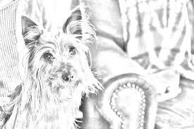 silky dog white. australian silky terrier dog, black and white photo dog