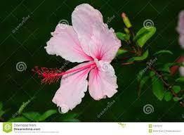 Light Pink Hibiscus Light Pink Hibiscus Stock Image Image Of Border Flower