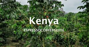Related:live coffee plant coffee plant seeds cacao plant coffee seeds chocolate plant tea plant. Kenya Coffee Beans Espresso Coffee Guide