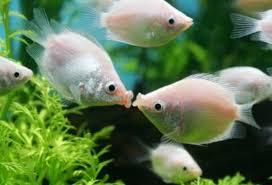 Resultado de imagem para Peixe-do-paraíso