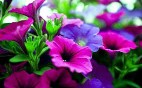 Purple Flowers Backgrounds Pink And Purple Flower Backgrounds Wallpaper Cave