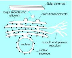 Endoplasmic Reticulum Granular Endoplasmic Reticulum Article About Granular
