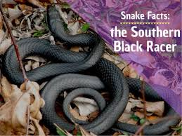 Facts About Southern Black Racer Snakes Owlcation