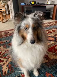 merle tri colored sable shelties fantastic personality shetland sheepdog sheltie puppy 4 ann arbor mi