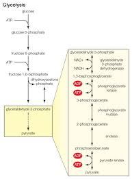 10 Steps Of Glycolysis School Pinterest School Biology And