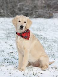 golden retriever puppies playing in snow. Fine Snow For Golden Retriever Puppies Playing In Snow R