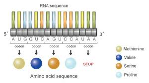 Use Your Codon Chart To Determine The Amino Acid Sequence The Information In Dna Determines Cellular Function Via
