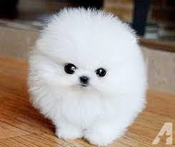 teacup pomeranian puppies for sale. Delighful For Teacup Pomeranian Puppies Classifieds  Buy U0026 Sell  Across The USA Page 5 AmericanListed Throughout Teacup Pomeranian Puppies For Sale E