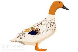 Domestic Duck Breeds Chart Duck Breed Guide Raising Ducks