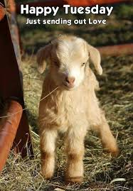 Goat Quotes Simple Baby Goat Goat Happy Tuesday Tuesday Quotes Tuesday Image 48