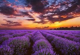 image is loading golden sunset over lavender fields floral purple large  on lavender fields wall art with golden sunset over lavender fields floral purple large canvas