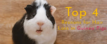 guinea pig hair loss what s going on