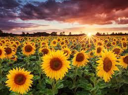 46+] Free Sunflower Desktop Wallpaper ...
