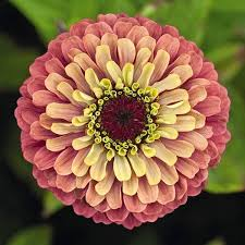 Image result for image of the queens series Zinnia