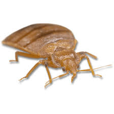 bed side view transparent. Perfect Transparent Light Brown Bed Bug On Side View Transparent M