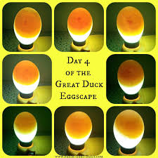 Egg Candling Chart The Great Eggscape Too Hatching Duck Eggs Fresh Eggs Daily