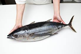Tuna Fish Size Chart Tuna Lovers Dilemma To Eat Or Not To Eat