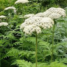 TANACETUM MACROPHYLLUM SEEDS (Chrysanthemum ...