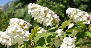 oakleaf hydrangea growing and care of