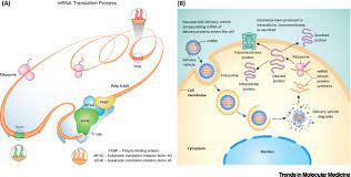 mRNA therapeutics: beyond vaccine applications: Trends in Molecular Medicine