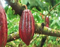 amazon rainforest endangered plants. Contemporary Amazon Pods On A Cacao Tree To Amazon Rainforest Endangered Plants R
