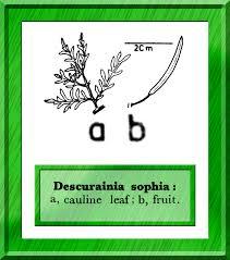 Descurainia sophia in Flora of Pakistan @ efloras.org