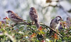 Image result for sparrows
