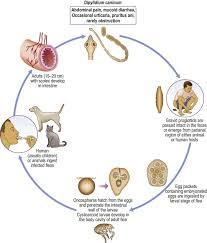 Dog Worm Identification Chart Dipylidium Caninum An Overview Sciencedirect Topics