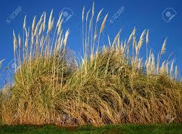 Tall Decorative Grass Pampas Grass A Very Tall Ornamental Grass Gynerium Argenteum