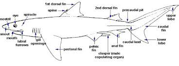 Shark Lateral View Diagram Fish For Kids Template Monster Free Body ...