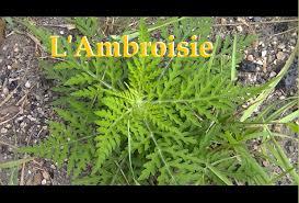 """Résultat de recherche d'images pour """"ambroisie"""""""